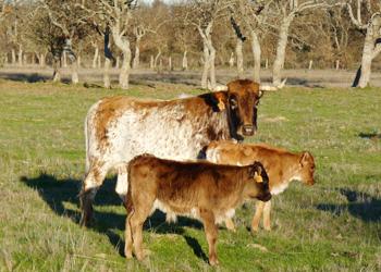 Vaca Salinera